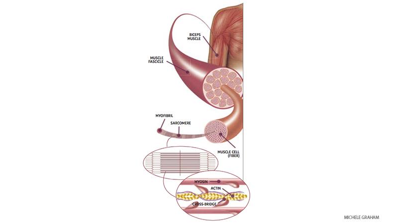 muscle  Как работает мышечная ткань в асанах йоги: